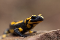 Feuersalamander-Salamandra salamandra