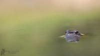 Grasfrosch-Rana temporaria