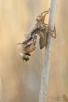 Falkenlibelle-Cordulia aenea