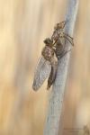 Falkenlibelle-Cordulia aenea01