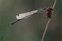 Gemeine Binsenjungfer-Lestes sponsa01