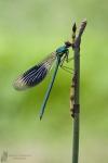 Prachtlibelle-Calopteryx splendens