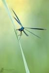 Prachtlibelle-Calopteryx splendens02