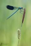 Prachtlibelle-Calopteryx splendens03