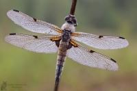 Vierfleck-Libellula quadrimaculata