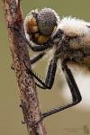 Vierfleck-Libellula quadrimaculata01