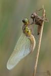 Vierfleck-Libellula quadrimaculata03
