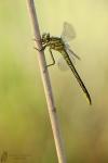 Westliche Keiljungfer-Gomphus pulchellus01