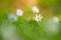 Buschwindröschen-Anemone nemorosa