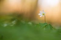 Buschwindröschen-Anemone nemorosa03