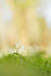 Buschwindroeschen-Anemone nemorosa