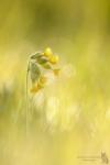 Echte Schlüsselblume-Primula veris02