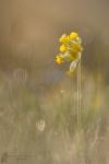Echte Schlüsselblume-Primula veris04
