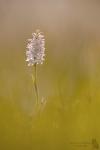 Fuchs' Knabenkraut-Dactylorhiza fuchsii02