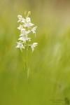 Grünliche Waldhyazinthe-Platanthera chlorantha