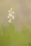 Grünliche Waldhyazinthe-Platanthera chlorantha01