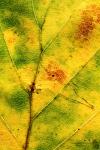 Herbstbuchenblatt im Detail