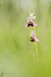 Hummel-Ragwurz-Ophrys holoserica