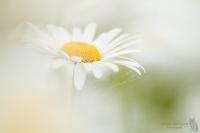 Margeriten-Leucanthemum01