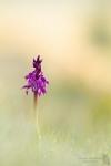 Stattliches-Knabenkraut-Orchis mascula