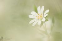Sternmiere-Stellaria spec.