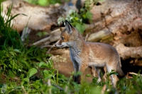 Rotfuchs-Vulpes vulpes02