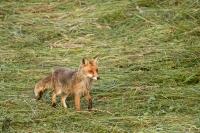 Rotfuchs-Vulpes vulpes03