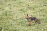 Rotfuchs-Vulpes vulpes04