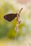 Brauner Waldvogel-Aphantopus hyperantus