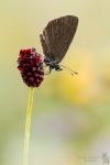 Dunkler Wiesenknopf-Ameisenbläuling-Phengaris nausithous02