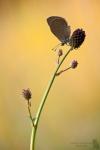 Dunkler Wiesenknopf-Ameisenblaeuling-Phengaris nausithous