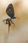 Hauhechel Bläuling-Polyommatus icarus