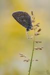 Hauhechel Bläuling-Polyommatus icarus01