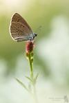 Heller Wiesenknopf-Ameisen-Bläuling-Phengaris teleius01