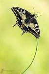 Schwalbenschwanz-Papilio machaon01