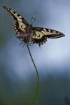 Schwalbenschwanz-Papilio machaon03