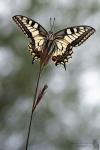 Schwalbenschwanz-Papilio machaon04