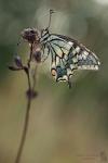 Schwalbenschwanz-Papilio machaon05