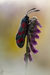 Sechsfleck-Widderchen-Zygaena filipendulae01