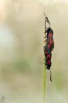 Sechsfleck-Widderchen-Zygaena filipendulae02
