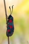 Sechsfleck-Widderchen-Zygaena filipendulae04