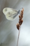 Weissling-Leptidea spec.