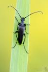 Bockkäfer-Cerambycidae Spec.