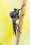 Echte Schneidenfliege-Leptarthrus brevirostris02