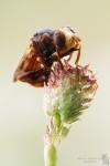 Gemeine Breitstirnblasenkopffliege-Sicus ferrugineus