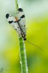 Gemeine Skorpionsfliege-Panorpa communis