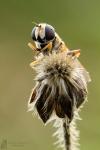Gemeine Sumpfschwebfliege-Helophilus pendulus