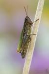 Grashüpfer-Gomphocerinae-Spec.02