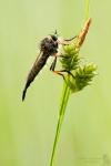 Knoten-Strauchdieb - Neoitamus cothurnatus