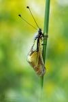 Libellen-Schmetterlingshaft -Libelloides coccajus